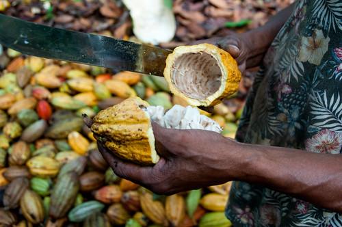 Cacao recien abierto | by mdelcid