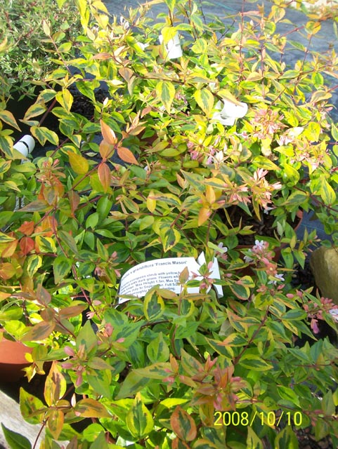 Abelia X Grandiflora Francis Mason Leonora Ellie Enking Flickr