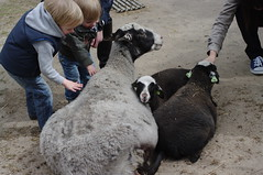 sheep at Keukenhof petting zoo