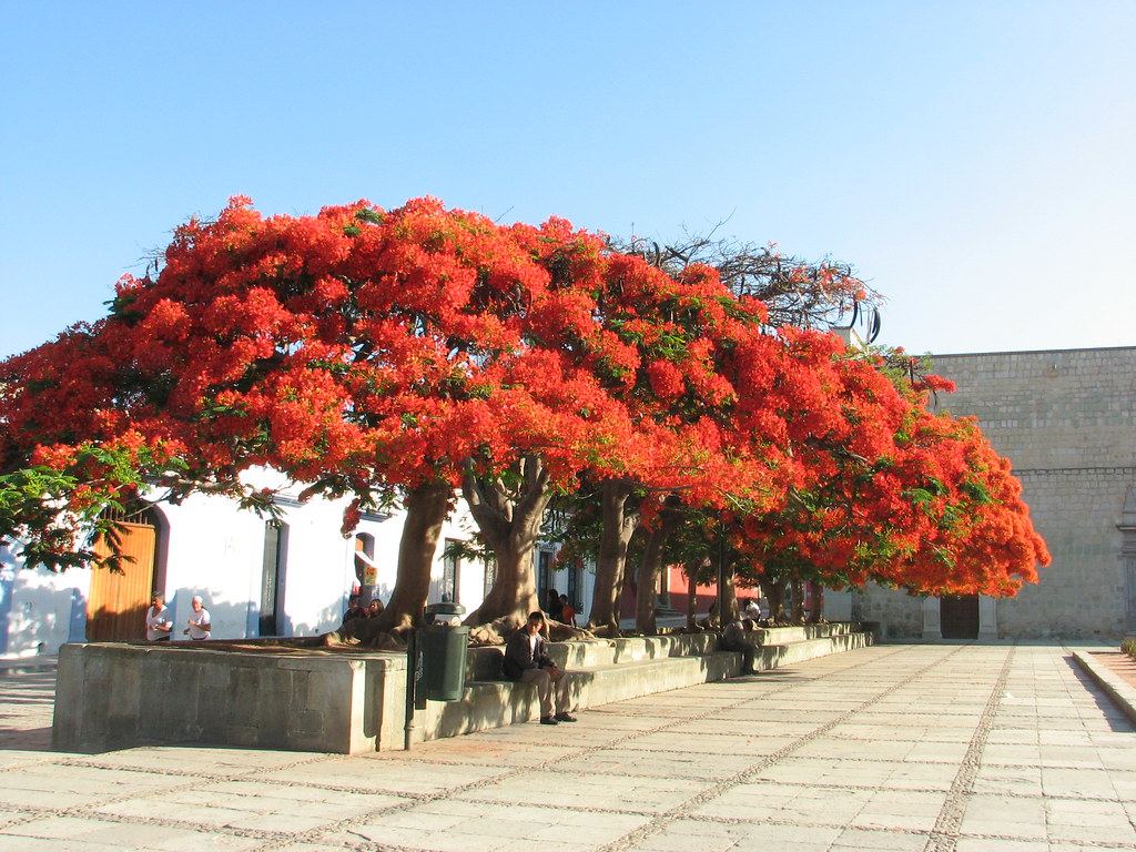 flamboyant  arboles