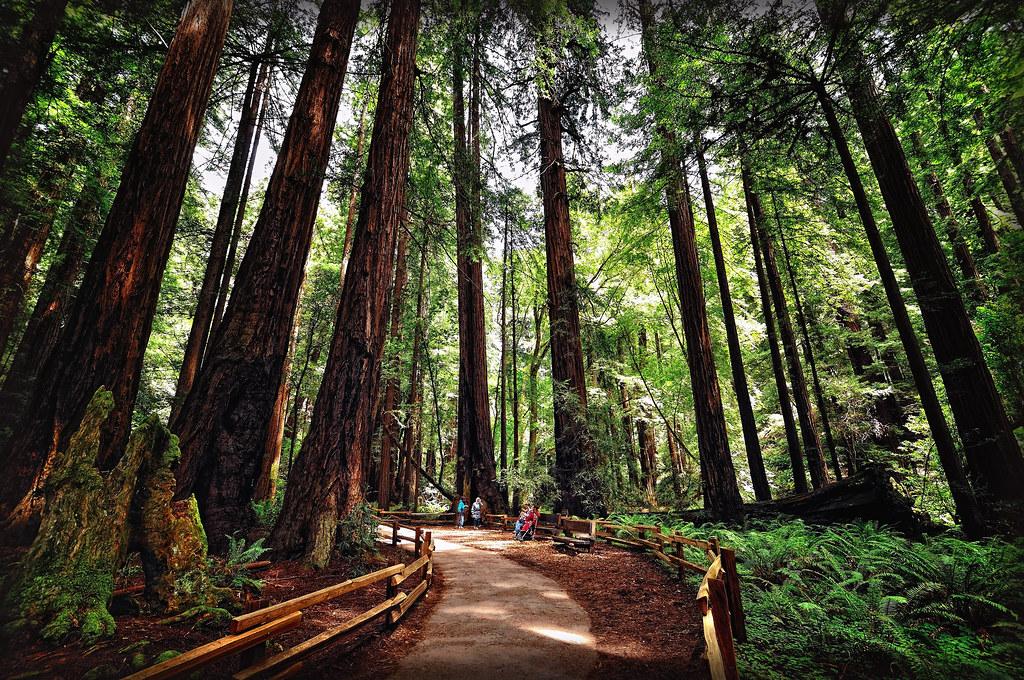 Muir Woods National Monument (Redwood/ Sequoias). San Francisco (California/ USA)