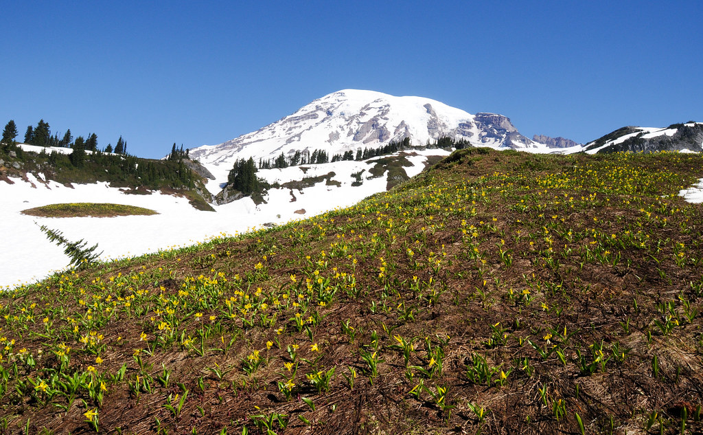 Glacier Lilies (Erythronium grandiflorum)