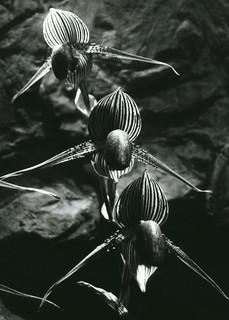 Orchidacées en vol
