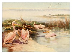 021-Pelicanos blancos-Egyptian birds for the most part seen in the Nile Valley (1909)- Charles Whymper   by ayacata7