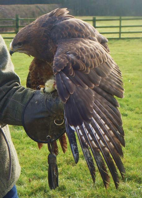 Harris Hawk  - mantling