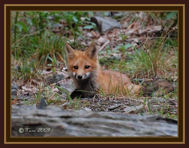 Maturing Fox Kit