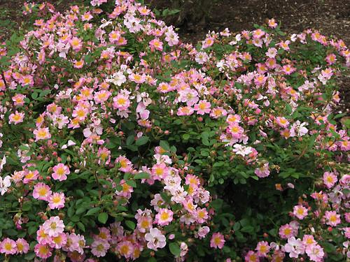 rose 花フェスタ記念公園 ilroseto flowerfestivalcommemorativepark