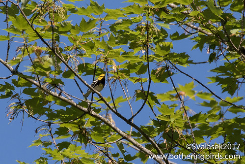 Black-Throated Green Warbler | by Bothering Birds