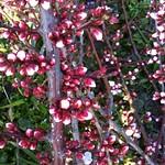紅梅が咲き始めました。
