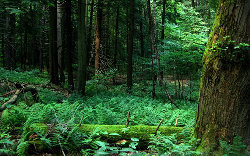 trees fern green nature forest moss woods ferns mossy mossyforest mossforest mossylog fernsea seaofferns
