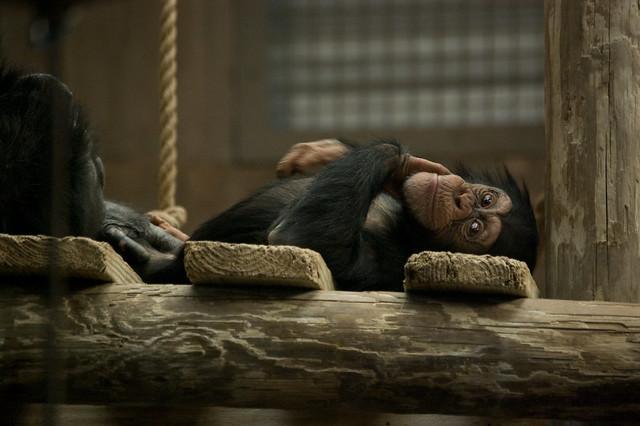 Adorable Baby Chimpanzee