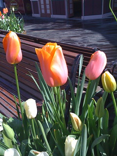 Tulips at Pier 39