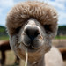island alpaca by krugerlive