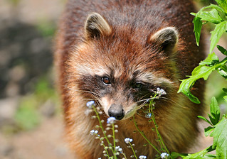 Raccoon and flowers | by Tambako the Jaguar