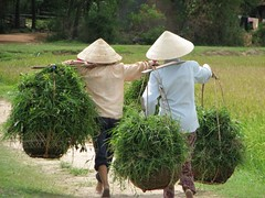 Aug/2007 - High quality planted grasses are carried for feeding fattening cattle in Ea Kar, Viet Nam (photo credit: ILRI/Werner Stür).