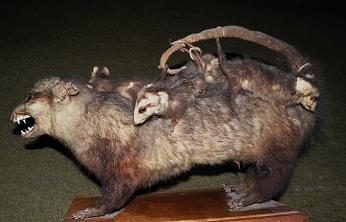 White-eared Opossum (Didelphis albiventris) ......... COMADREJA PICAZA ~ Original = (3459 x 2220)