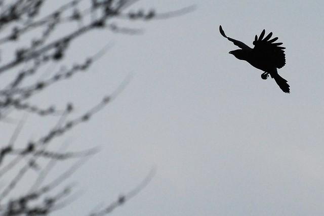 Crow is landing