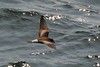 Wedge-rumped Storm-Petrel (Oceanodroma tethys), Off of Lima, Peru by palmchat