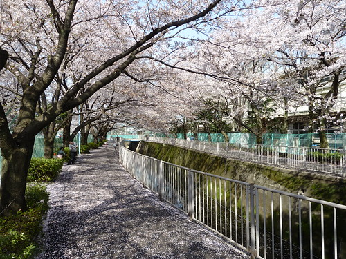 Sakura walk | by kalleboo