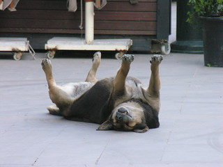 Istanbul dogs prefered sleeping position :D | by CyberMacs