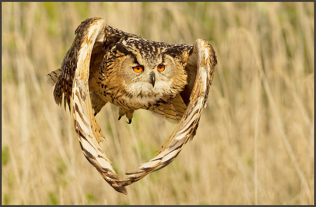 The owl of the rising sun