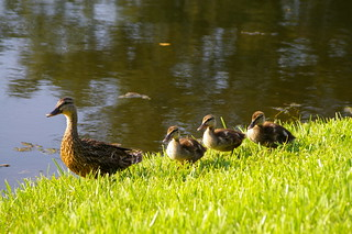 make way for duckling | by 55thstreet