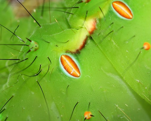 Indian moon moth (Actias selene) caterpillar spiracles | by Deanster1983 who's mostly off