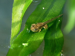 04 Froglet | by http://wildaboutthebritishisles.uk