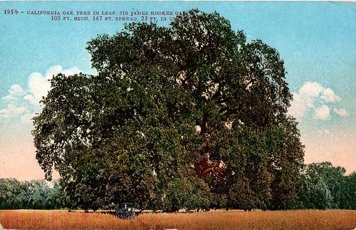 James Hooker Oak