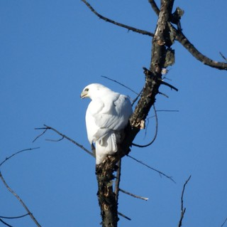 White Hawk (Leucistic Red-tailed Hawk) | by Mike's Birds