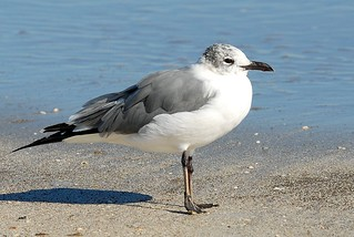 Laughing Gull, winter | by birding4ever