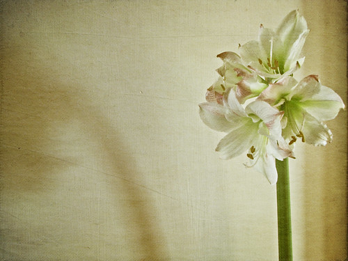 shadow stilllife flower texture amaryllis textured texturized borealnz lepiafgeo canonsx10is