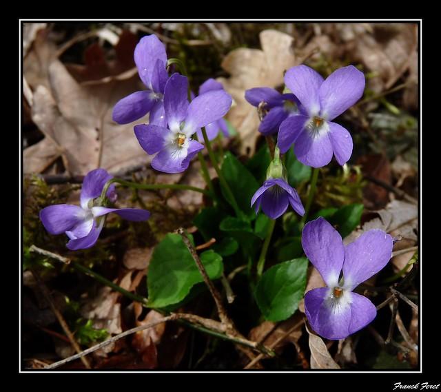 violettes sous les falaises de chiprey