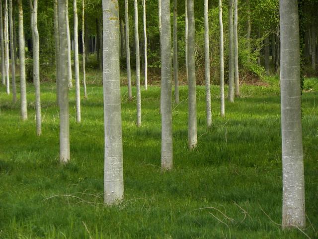 Twenty five visible poplars on a green lettuce field.