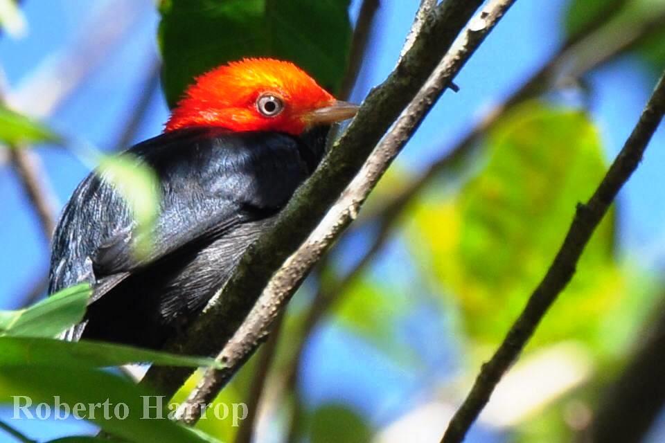 Dançarino-de-cabeça-vermelha ou Uirapuru-cabeça-vermelha (Pipra rubrocapilla) - Para Dalgas Frisch, amigo dos pássaros