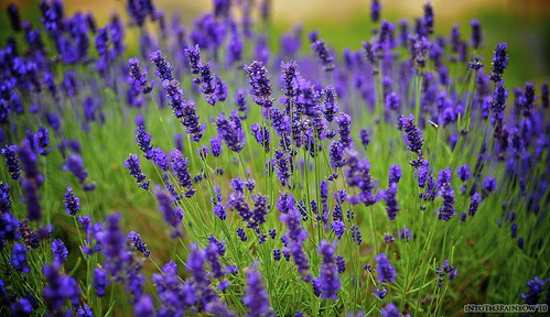 Lavender. | by IntoTh3Rainbow