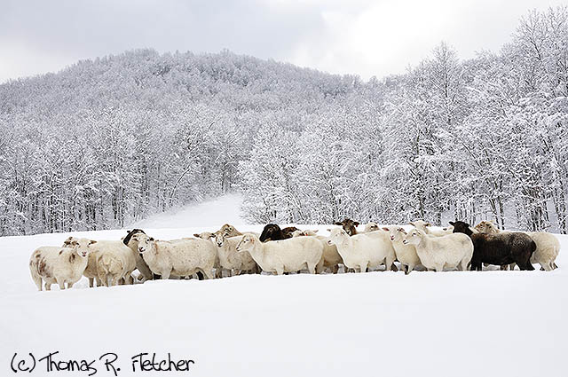 Sheep in heavy snow, family farm, Webster County, West Virginia