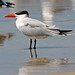 Caspian Tern - Photo (c) Frans Vandewalle, some rights reserved (CC BY-NC)