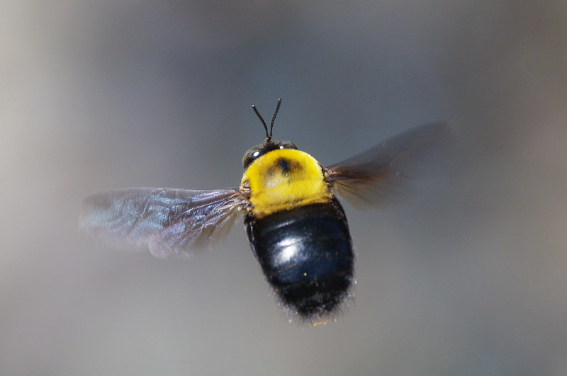 Xylocopa appendiculata in flight