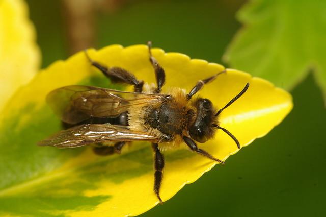 Andrena nitida (f)