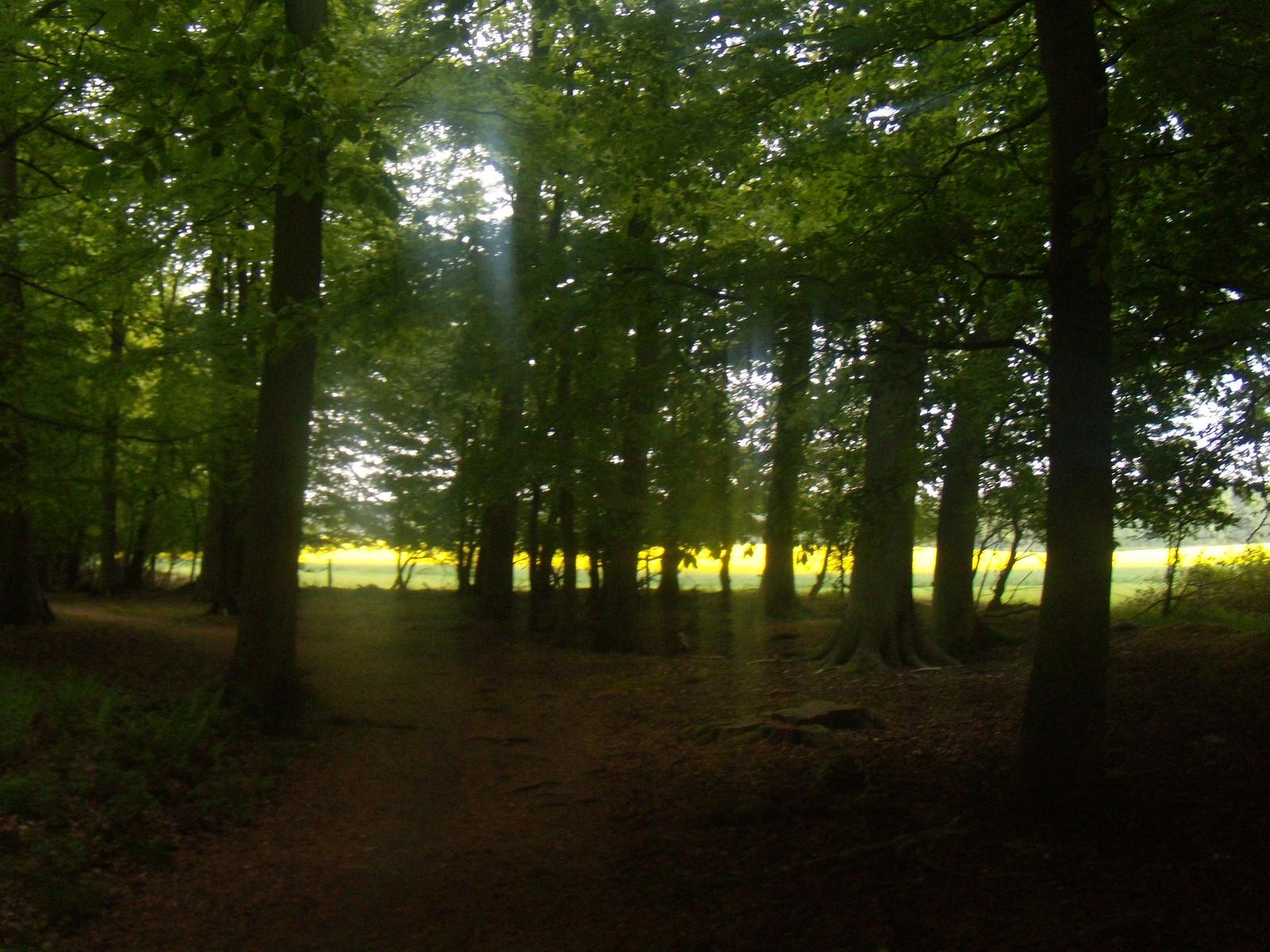 Yellow streak A rapefield shines through the trees. Henley Circular via Stonor