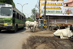 Field cow on road in India インドの道にいる野良ウシ | by kimama_labo