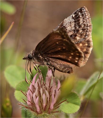california butterflies duskywing erynnis dreamyduskywing erynnisicelus icelus raybruun