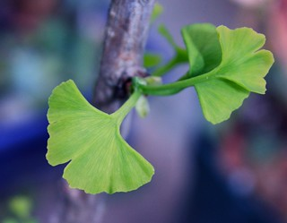 gingko coming back to life   by minicooper93402