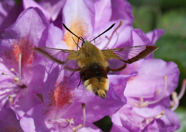 Broad Bordered Bee Hawkmoth