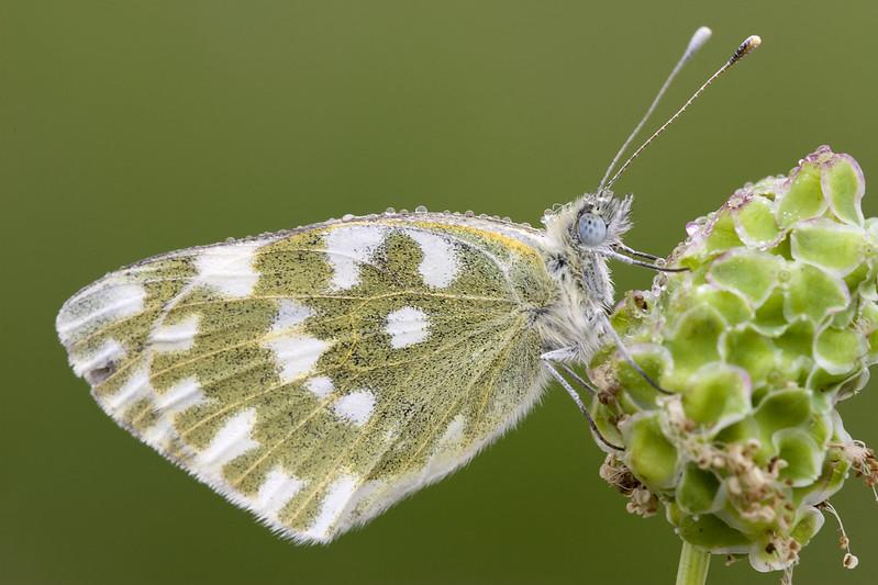 Farfalla from Piacenza
