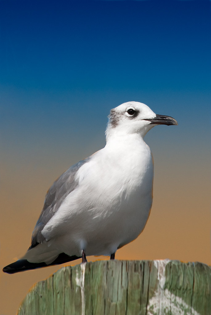 Sad Sea Gull, Gulf of Mexico by S.A. Street Photographer