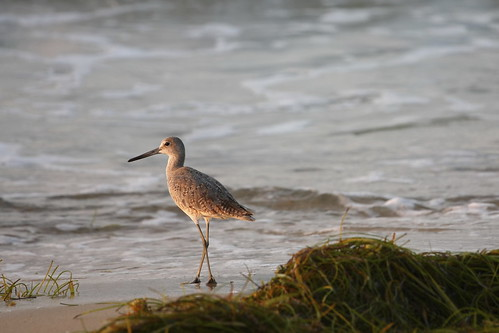 ocean morning sea orange usa brown sunlight seaweed green bird art beach water america sunrise photography dawn golden photo bill weed surf waves legs clayton gray beak feathers images shore foam northamerica harris sandpiper inspiring alert harrisclayton
