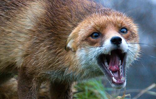 Screaming Fox   by Douglas Marsh