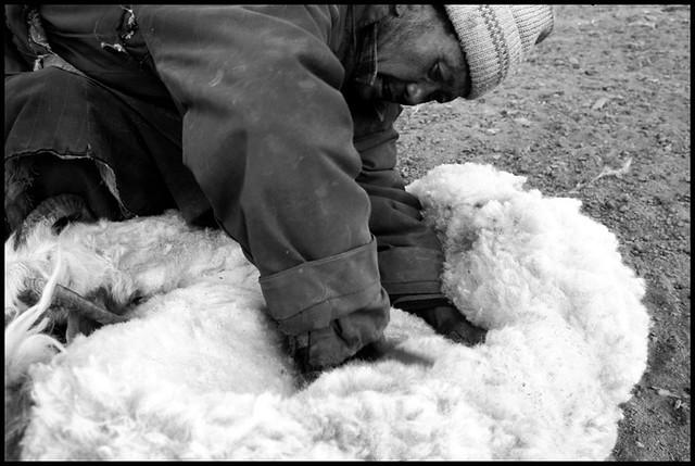 Tsokar Nomads, Ladakh